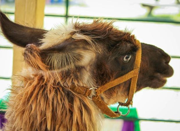 brown-llama-191780_640