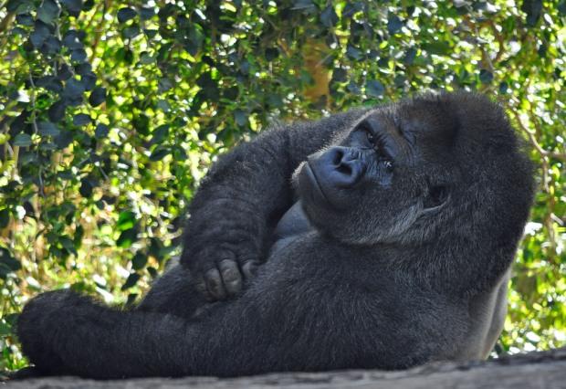 Echter Gorilla im Loro Parque