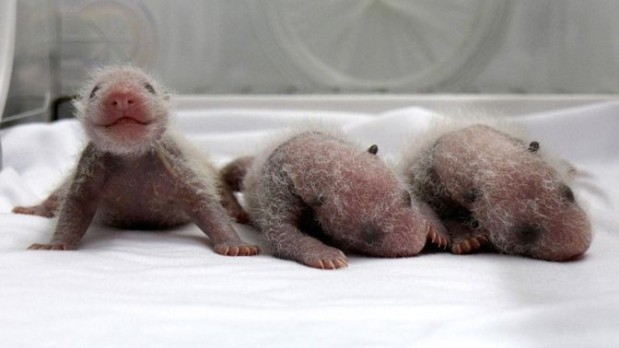 panda-drillinge