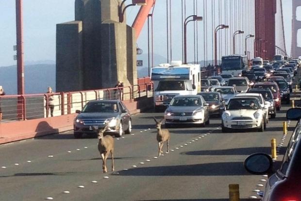 Hirsche_Golden Gate Bridge