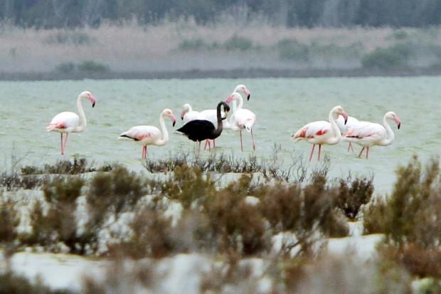 Schwarzer Flamingo