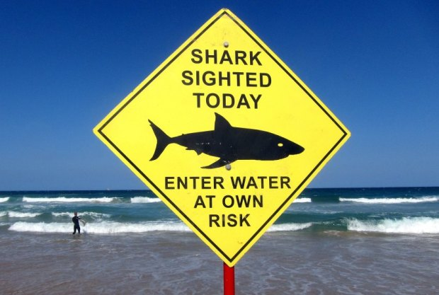 A surfer carries his board into the water next to a sign declaring a shark sighting on Sydney's Manly Beach, Australia